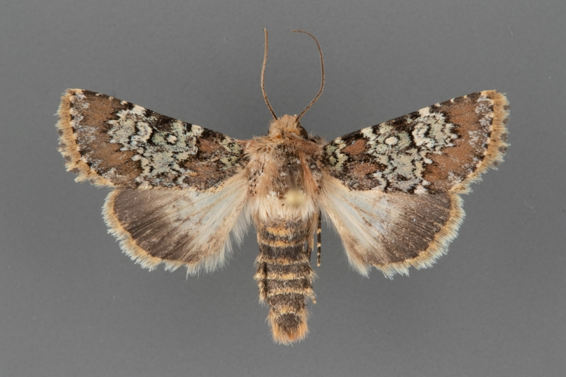 9597 Hemibryomima chryselectra male