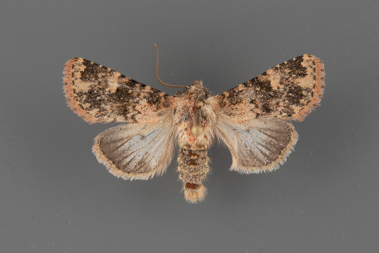9598-Pseudobryomima-distans-male