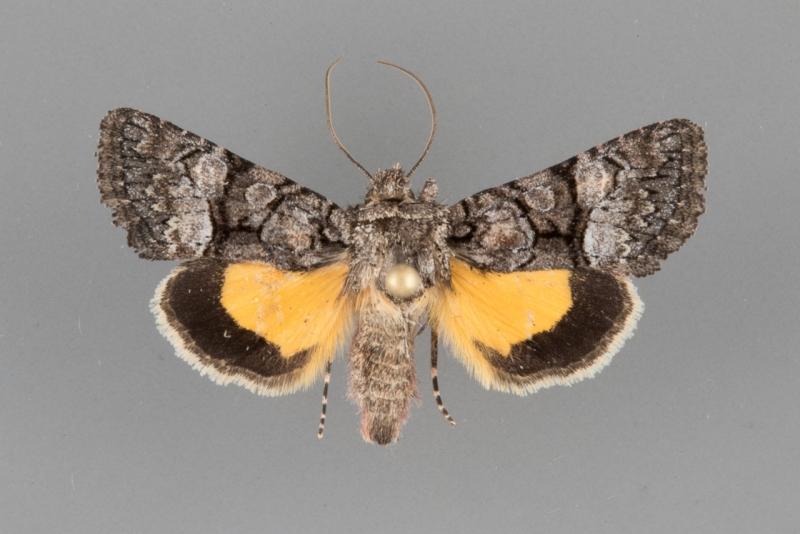 9601 Pseudanarta flavidens male