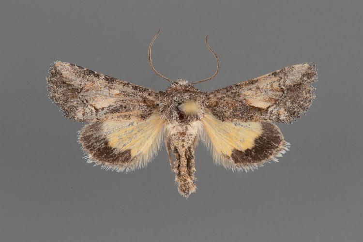9604-Pseudanarta-caeca-male