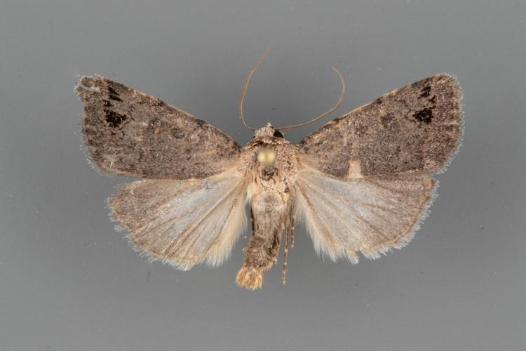 9652 Anorthodes indigena male