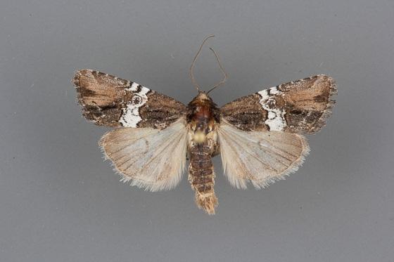 9686 Bryolymnia semifascia male 2
