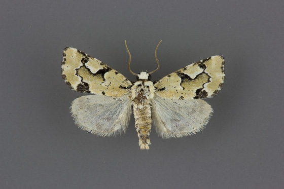 9718 Emarginea percara male