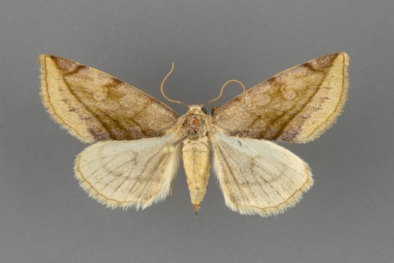 9740 Plagiomimicus ochoa female