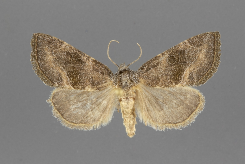 9744-Plagiomimicus-manti-male