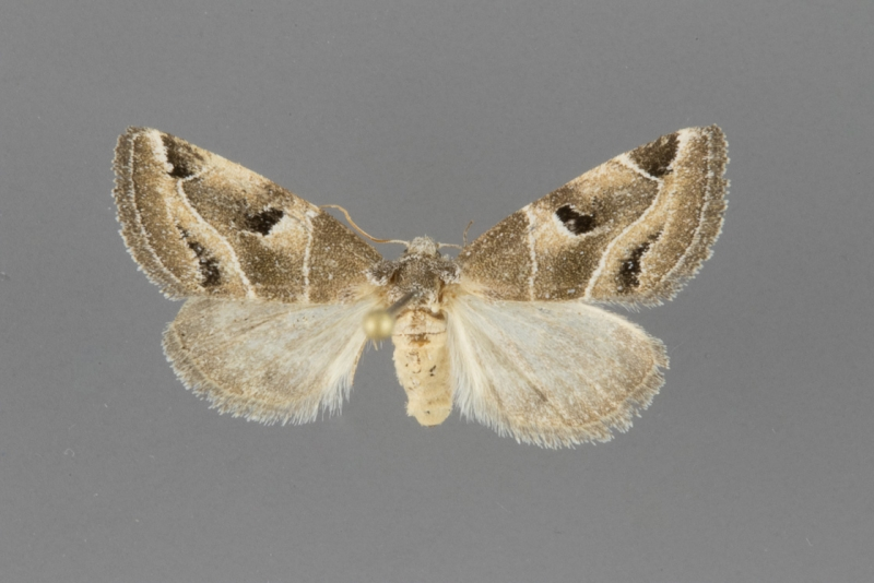 9753 Plagiomimicus triplagiatus female