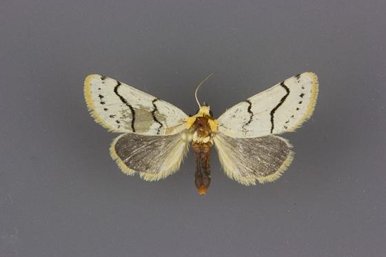 9759 Lineostriastiria sexseriata female