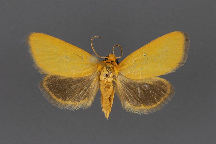 9773-Eulithosia-composita-male