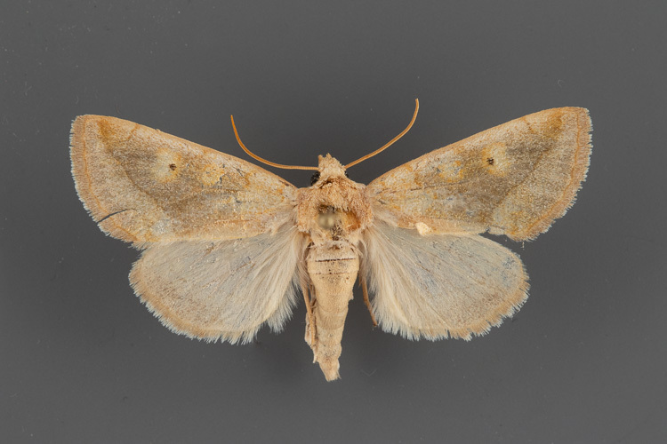 9780-Basilodes-chrysopsis-male