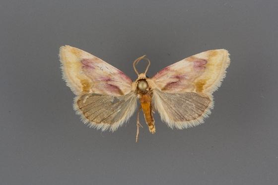 9789 Chamaeclea pernana male