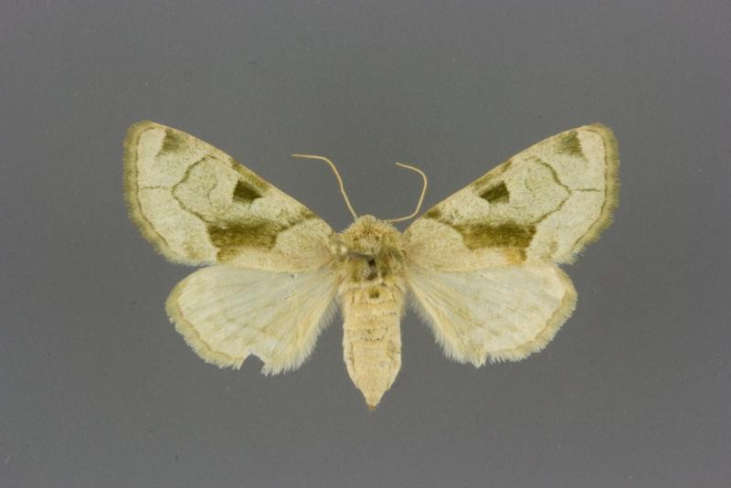 9791 Oslaria viridifera female