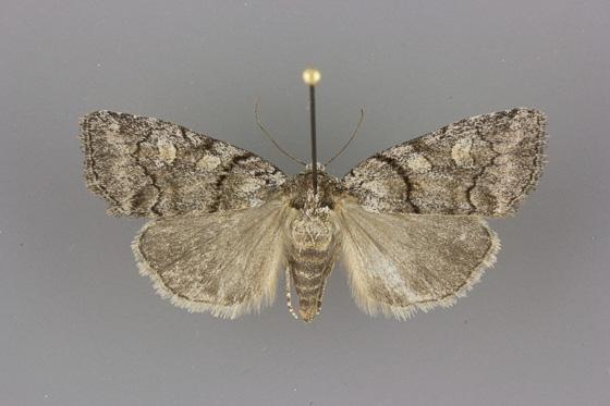 9814 Cosmia praeacuta female