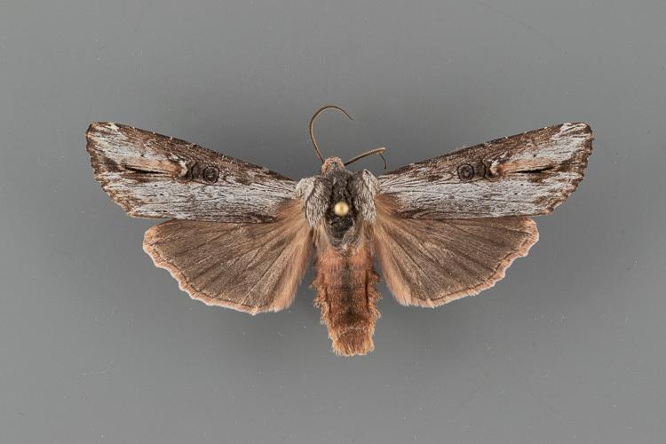 9877-Xylena-brucei-male
