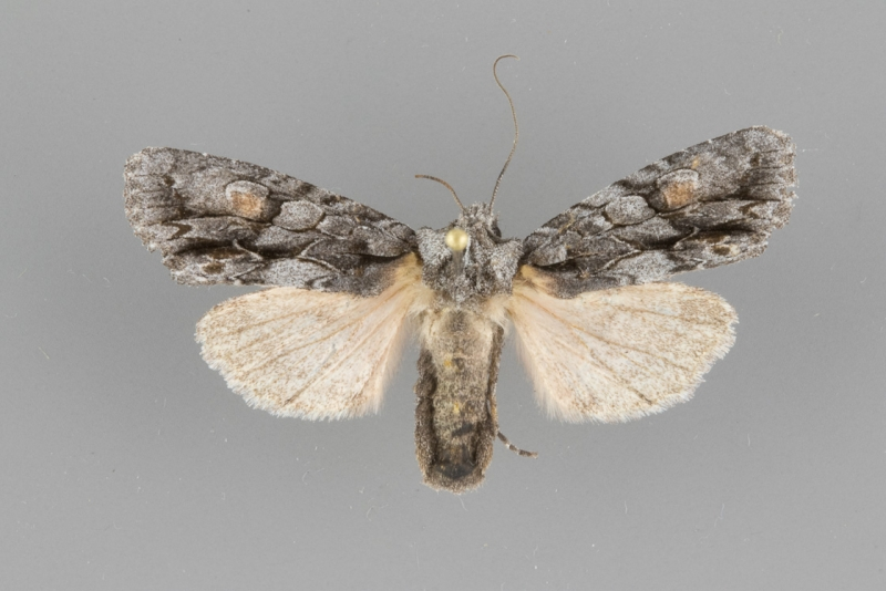 9926 Lithophane nasar female