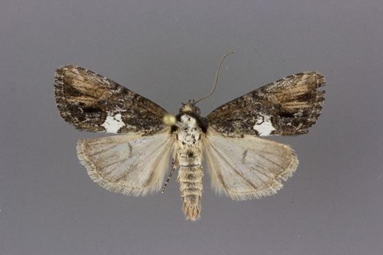 9686 Bryolymnia semifascia male