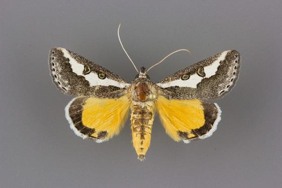 9307 Euscirrhopterus gloveri male