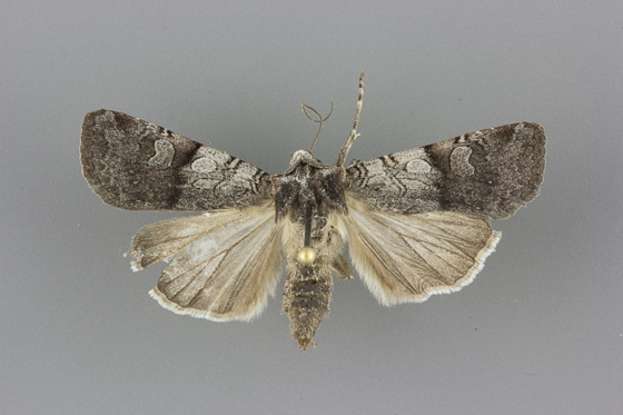 10815 Euxoa sculptilis female