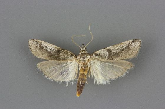 5949.1 Laetilia dilatifasciella male