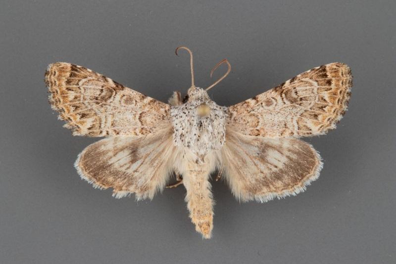 11134.2 Schinia deserticola male ii-93-