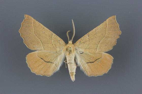 6873 Caripeta ocellaria-2-male