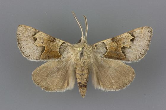 8596 Cissusa valens-male