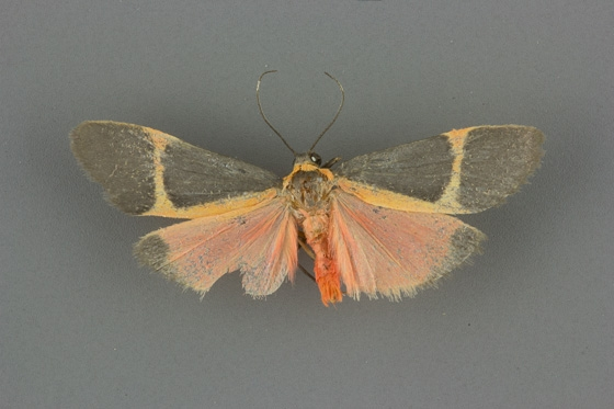8074 Cisthene barnesii male