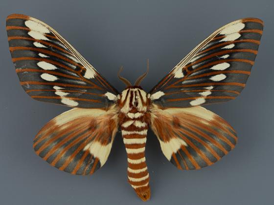 7707 Citheronia splendens sinaloaensis