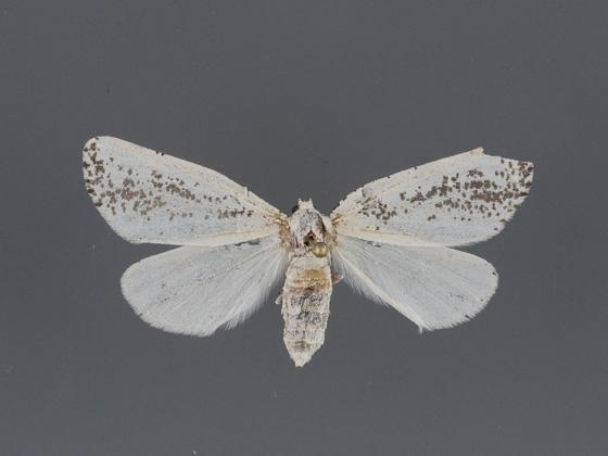 6918 Eucaterva variaria-2