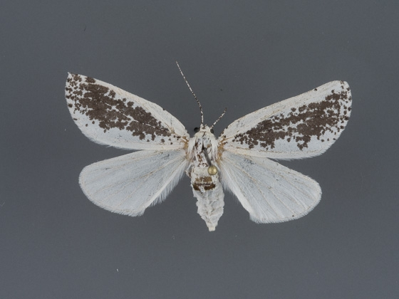 6918 Eucaterva variaria