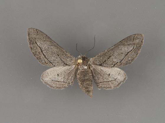 6773 Holochroa dissociarius-female