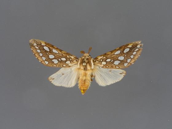 8209 Lophocampa argentata-male