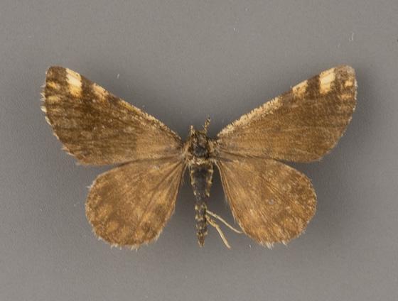 6420 Fernaldella-fimetaria-male-2