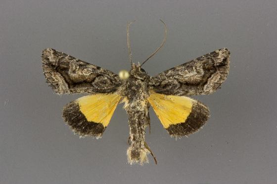 9607 Pseudanarta singula-male