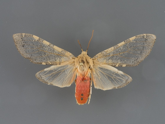 8222 Pseudohemihyalea edwardsii-female