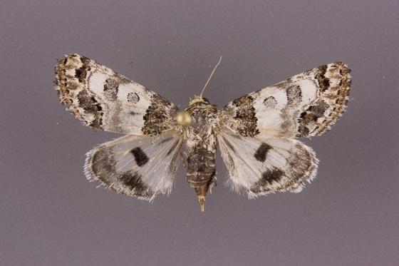 11181 Schinia albafascia-female
