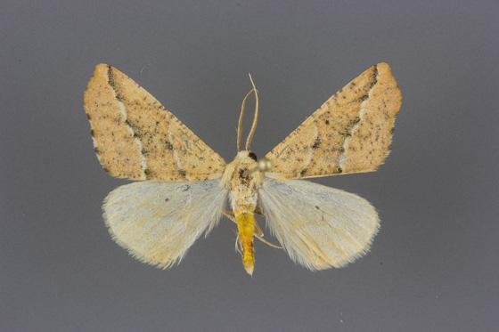 6915 Sicya morsicaria-male