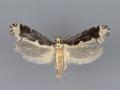 0312 Daviscardia coloradella male