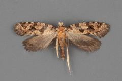 0336-Amydria-obliquella-male-ii-191