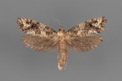 0347-Acrolophus-cressoni-female-ii-201