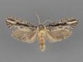 0354-Acrolophus-furcatus-group-male-ii-105-