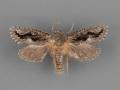 0365-Acrolophus-minor-male-ii-99