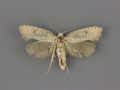 0377-Acrolophus-pyramellus-female-i-72-