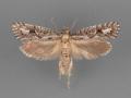 0385-Acrolophus-variabilis-male-ii-99