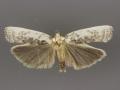 1011 Antaeotricha schlaegeri male or A. lindseyi