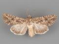 10224 Anarta mutata female