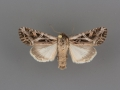 10309 Trichordestra prodeniformis male
