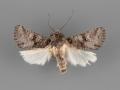 10373 Lacinipolia incurva male