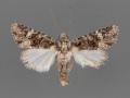 10380-Lacinipolia-vittula-male