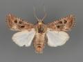 10400 Lacinipolia spiculosa male (ii-57)