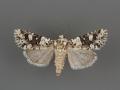 10415 Lacinipolia strigicollis